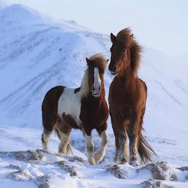 by Áslaug Stefánsdóttir - Animals Horses (  )