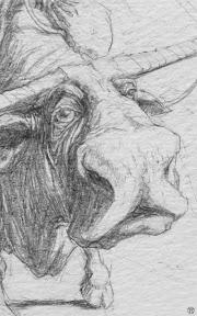 rysunek_byka-detal-szkic_olowkowy.jpg