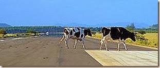 Aeroporto-Jaguaruna-vacas[7]
