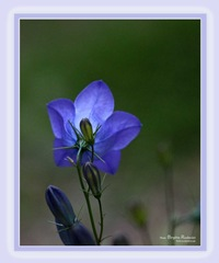 card_20110621_bluebell