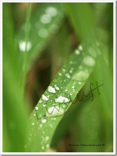 GrässtråmregndroppeVMÄRKE