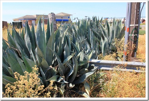 120715_apocalyptic_agave19