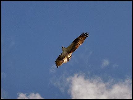 17h - Osprey overhead (1)