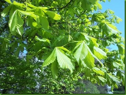 004  Young Horse Chestnut, unbleamished so far
