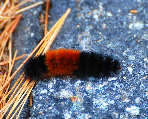 5. wooly bear warning-kab