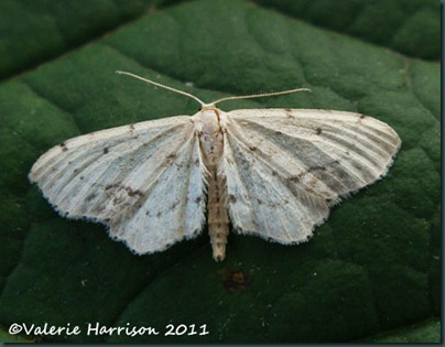 Single-Dotted-Wave-Idaea-dimidiata