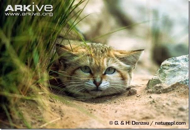 gato arena (2)