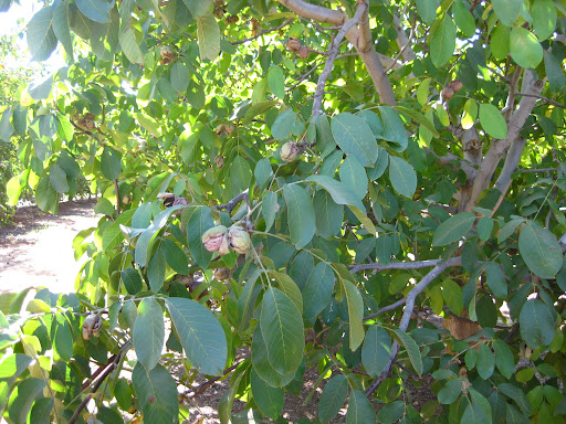 How Do Cashews Grow http://feistyfoodie.com/2012/12/17/ca-walnut-tour-mariani-nuts/