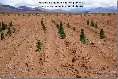 Parcela_de_quinua_Chenopodium_quinoa_en_planicie-Laquinua.blogspot.com