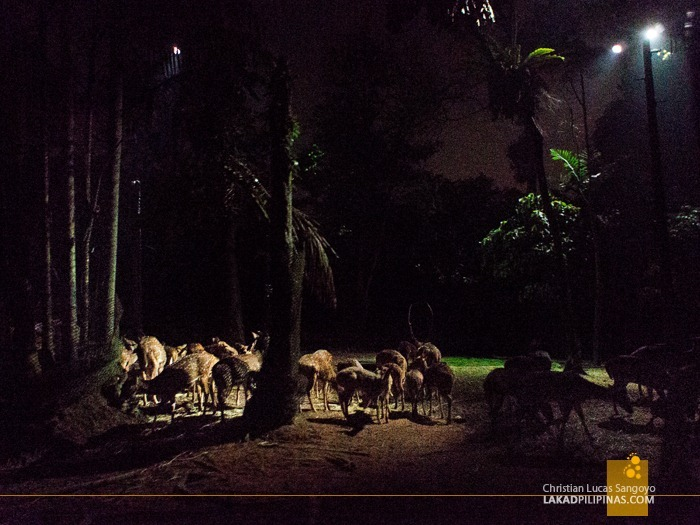 A Group of Deers at Singapore's Night Safari
