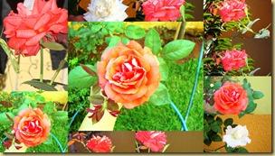 2012-06-22 rosas, Mel