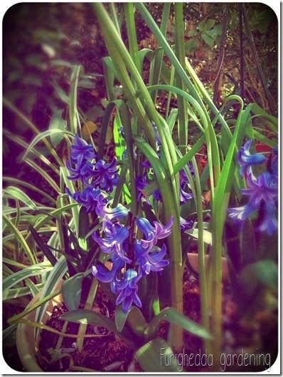 Jacinthus blue