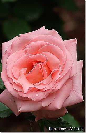 Rose_Bill_Warrnier2