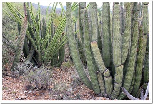 120728_ArizonaSonoraDesertMuseum_Stenocereus-thurberi_02