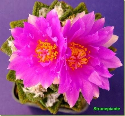 Ariocarpus bravoanus fiori
