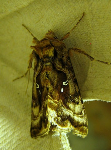 Beautiful Golden Y Devil's Dingle Moth Night 080711 017