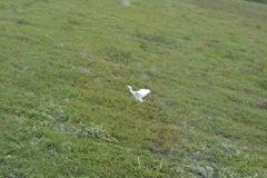 cowbird 035