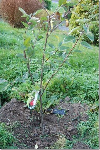 apple trees 002