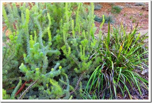 131124_UCD_Arboretum_AustralianCollection_Adenanthus-sericeus_01