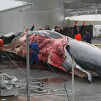 Icelandic whalers flense a fin whale. Whale poachers in Iceland have a self-assigned quota of 184 endangered fin whales for 2013. Photo: WDC