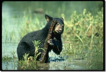 black bear 159050