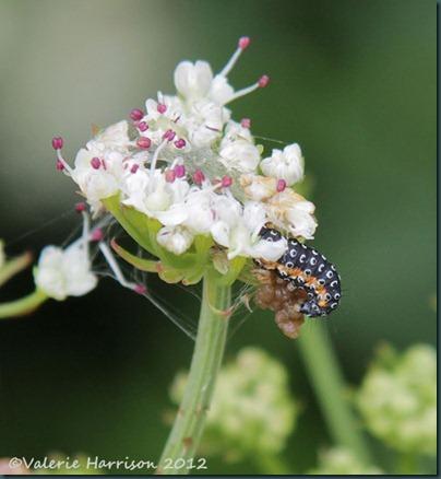7-Depressaria daucella caterpillar
