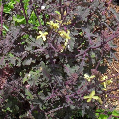 Scarlet Kale flowers