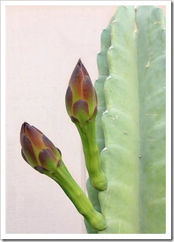 110811_Cereus-hildmannianus-susp-hildmannianus_05