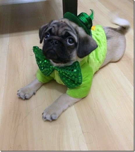 animals-st-paddys-day-011
