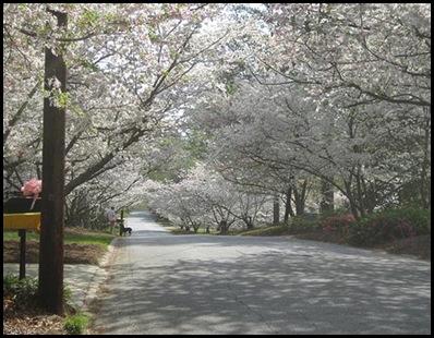 macon-blossom