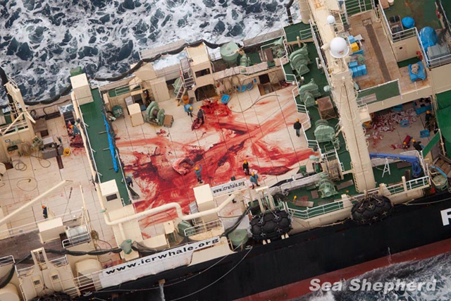 The bloodied deck of the Japan whale-poaching vessel, the Nisshin Maru, stained from the butchering of a whale, 5 January 2014. Photo: Sea Shepherd