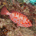 Glasseye Snapper - Photo (c) DavidR.808, some rights reserved (CC BY-NC-SA)