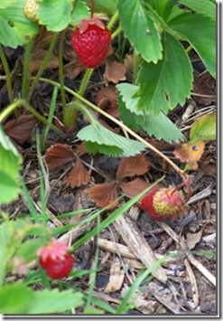 strawberries_thumb[1]