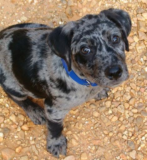 Catahoula Leopard Dog Puppies Adopt A Catahoula Leopard Dog | Dog ...