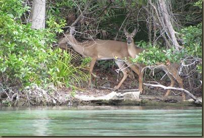 deer swimming across Weeki Wachee River