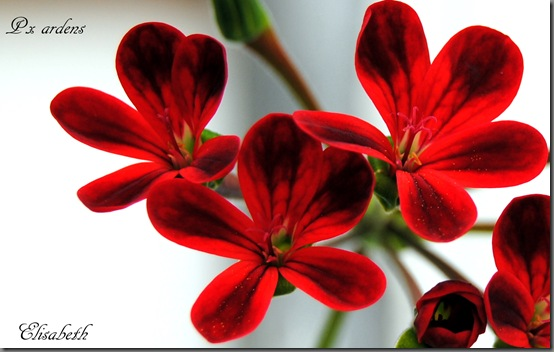 Pelargonium aug-11 033