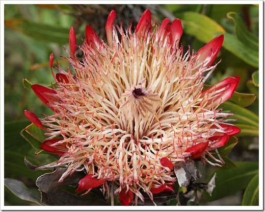 120211_UCSC_Arboretum_Protea-compacta-x-magnifica