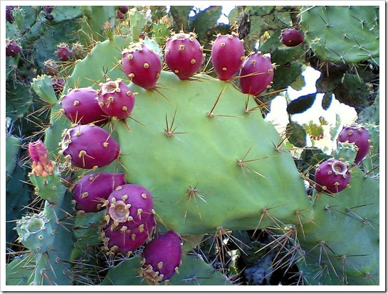 800px-Prickly_pear_cactus_beed