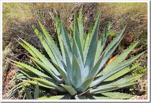 120726_Grand-Canyon-Agave-utahensisl_002