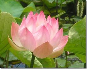 1663153-Lotus-Flower-0