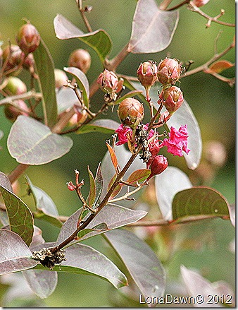 AUtumn_CrapeMyrtle_Seeds
