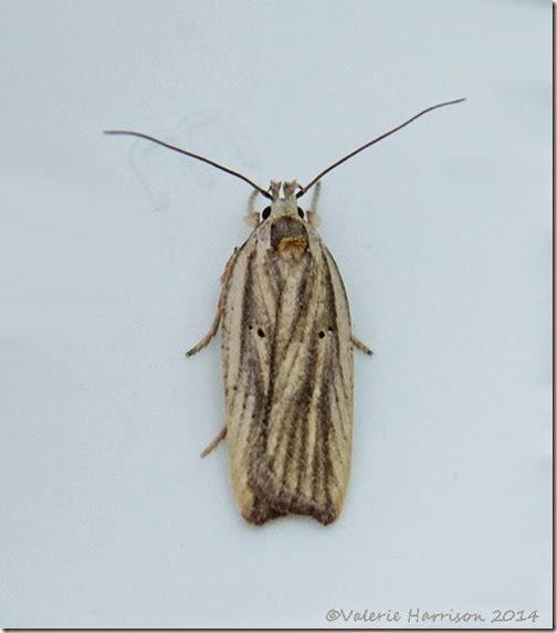 Agonopterix-umbellana