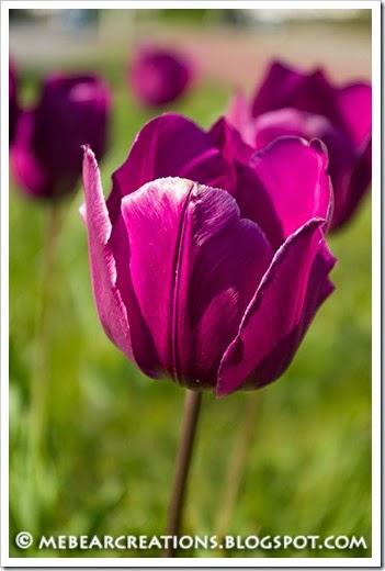 Tulip001