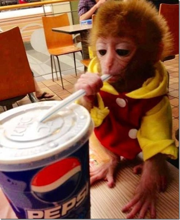 Macaco bebe adora tomar refrigerante (3)