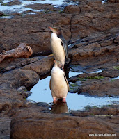 Pinguine bei Curio Bay