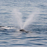 V-shaped spout of a north atlantic right whale