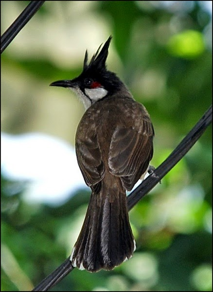 Red whiskered bulbul 2 EDIT