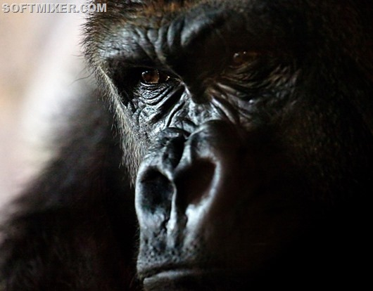 Animals_Monkeys_Angry_gorilla_036459_