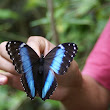 Butterfly from the Peruvian amazon