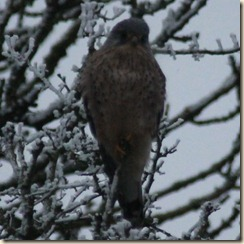 cold kestrel